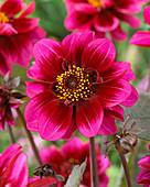 Dahlia 'Eyed Beauty'
