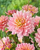 Dahlia 'Pink Magic' ®