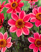 Dahlia 'Happy Days Red Flame' (HDRF155) ®