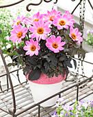 Dahlia 'Happy Days Pink' (HDPI117) ®