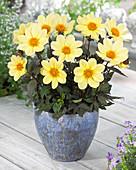 Dahlia 'Happy Days Lemon' (HDLE105) ®