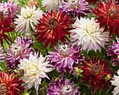 Semi-Kaktus Dahlien farblich gemischt