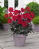 Dahlia 'Happy Days Cherry Red' (HDCHR23) ®