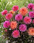 Dahlia 'City', pink und orangefarben gemischt