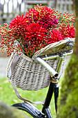 Fahrradkorb mit Dahlien und Hagebutten