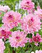 Dahlia 'Garden Sensation'