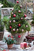 Zuckerhutfichte als Weihnachtsbaum mit Kugeln und Lichterkette geschmückt