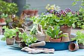Arrangement mit Aurikel, Salatpflanzen und Koriander