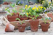 Grünkohl Jungpflanzen und Hornveilchen in Tontöpfen