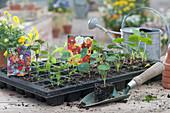 Topfplatte mit Jungpflanzen von Kapuzinerkresse und Duftwicken