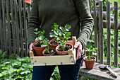 Frau trägt Sellerie - Jungpflanzen in Obststiege