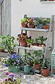 Schrägregal mit Salatpflanzen, Sellerie Jungpflanzen, Tomatenpflanze, Hornveilchen und Tripmadam