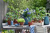 Gemüse Jungpflanzen und Hornveilchen in Töpfen auf dem Terrassentisch