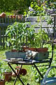 Töpfe mit Tomaten Jungpflanzen auf Zink-Tablett