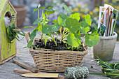 Jungpflanzen von Kapuzinerkresse im Korb