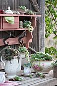 Hauswurz in Kannen und Tassen gepflanzt