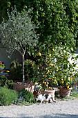 Olivenbaum und Zitronenbäumchen in Terracottatöpfen an der Terrasse, Katze