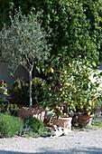 Olivenbaum und Zitronenbäumchen in Terracottatöpfen an der Terrasse, Hund Zula