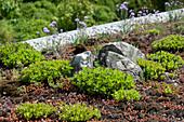 Begrüntes Dach mit Mauerpfeffer, Fetthenne und Grasnelken