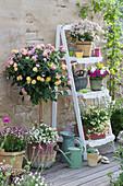Wandelröschen 'Pink Yellow' mit Schneeflockenblume unterpflanzt im Korb, Elfenspiegel 'Vanilla Berry' 'Citrine' 'Pink Lemonade', Zauberglöckchen und weißer Lavendel
