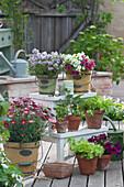 Blumentreppe mit Bergbohnenkraut, Zauberglöckchen, Sellerie - Jungpflanzen und Salat, Petunie und Strauchmargerite 'Meteor Red'
