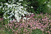 Sonnenröschen 'Lawrensons Pink' und japanischer Schneeball
