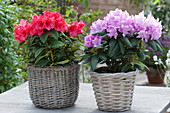 Rhododendron in Körben
