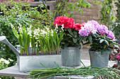 Zinkkasten mit Maiglöckchen und Rhododendron in Zinktöpfen