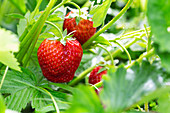 Erdbeeren an der Pflanze