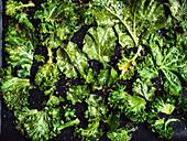 Dried kale leaves