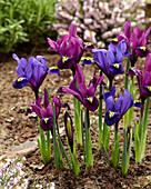 Iris reticulata 'Purple Hill' ®, 'Blue Hill' ®