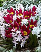 Frühlings-Mix aus Tulipa humilis, Puschkinia und Scilla