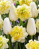Tulipa 'Francoise', Narcissus 'Sweet Pomponette'