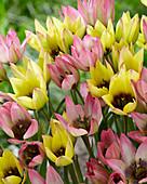 Tulipa 'Danique', 'Lucca'