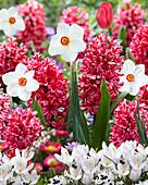 Hyacinthus 'Jan Bos', Narcissus poeticus und Crocus