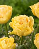 Tulipa 'Vaya Con Dios'