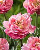 Tulipa 'Libretto Double'
