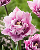 Tulipa 'Great Barrier Reef'