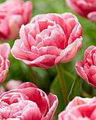 Tulipa 'Vogue'