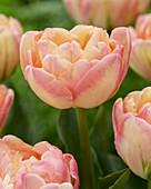 Tulipa 'Creme Upstar'