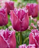 Tulipa '48-07-2'