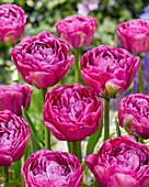 Tulipa '481-482-99-1603'