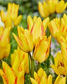 Tulipa 'Georgette'