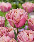 Tulipa 'Double Peony'