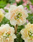 Narcissus 'Pom Pom Rose'