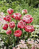 Tulipa 'Dazzling Sensation'