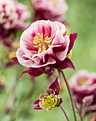 Aquilegia vulgaris 'Winky Double Red-White'