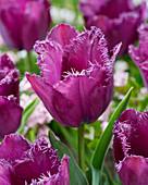 Tulipa 'Purple Crispa'