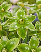 Tulipa 'Green King'