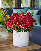 Rhododendron 'Encore' ® 'Autumn Fire'